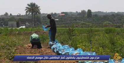 مزارعون فلسطينيون يقطفون ثمار البطاطس في موسم الحصاد